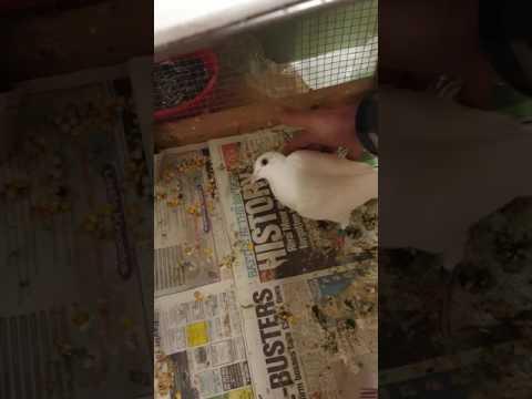 Pigeon Paramyxo UK