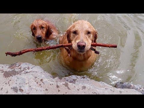 Golden Retrievers Go Swimming at Dog Park!