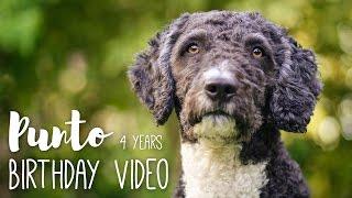 4 Years  Punto (Perro de Agua Español)