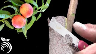 Grafting Fruit Trees in Silicon Valley – Double-Tongued Side Graft
