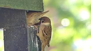 Птенцы воробья в гнезде