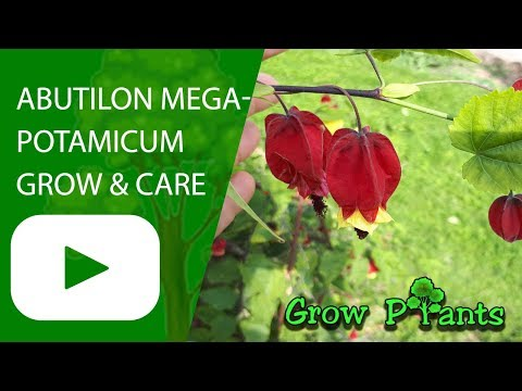 Abutilon Megapotamicum - Grow And Care