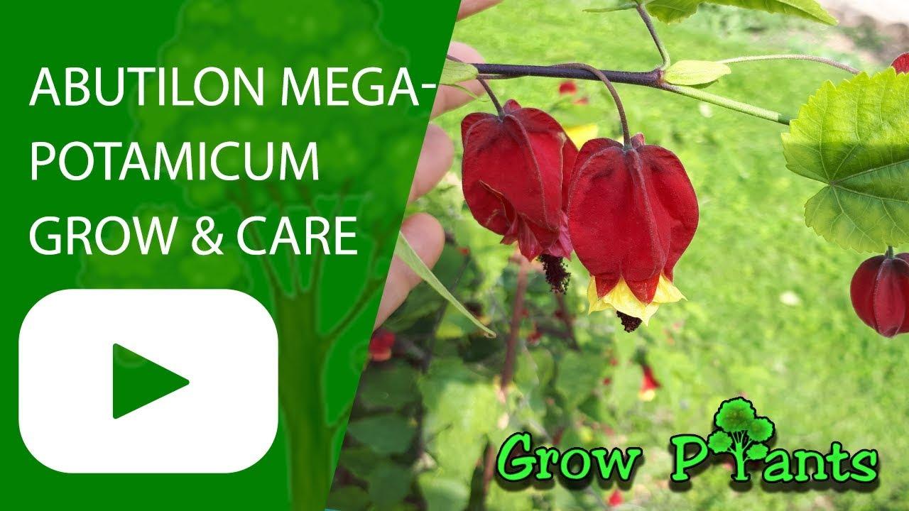 Abutilon Megapotamicum Grow And Care Youtube