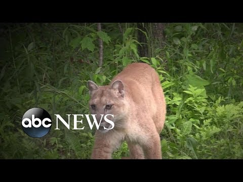 J.R. - Mother Wrestles Cougar off of 7 Year Old Son