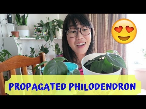 HOW'S MY PROPAGATED PHILODENDRON? Apr 2019