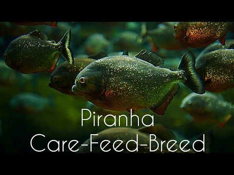 Red Bellied PIRANHA Care In TAMIL-Care,Feeding,Gender Identification And Breeding-EshwarGandhi