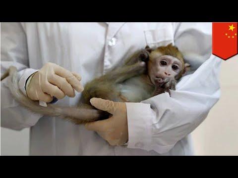 Ilmuwan Cina Masukkan Gen Otak Manusia Ke Monyet - TomoNews