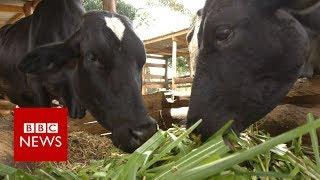 The farmer helping to cut cow farts - BBC News thumbnail