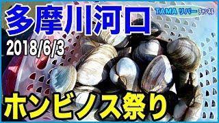 多摩川河口でホンビノス貝が大繁殖しているという話を聞いて、一ヶ月後...