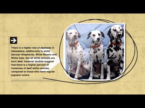 Dog Facts: Dalmatians Are Often Deaf Doggies