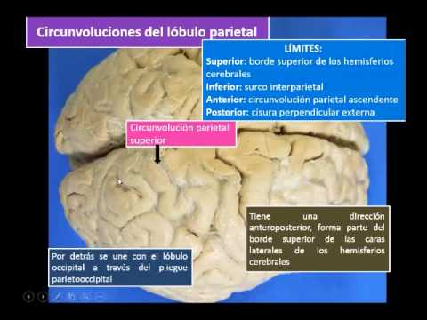 Neuroanatomía del lóbulo parietal - YouTube