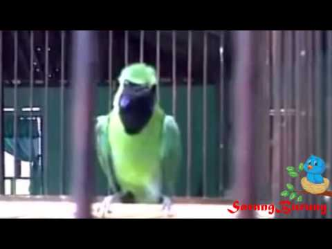 kicau burung cucak ijo sumatra ngerol