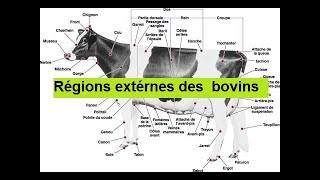 regions exterieures des bovins