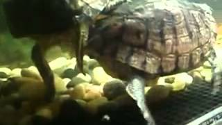 red ear aquatic turtles mating