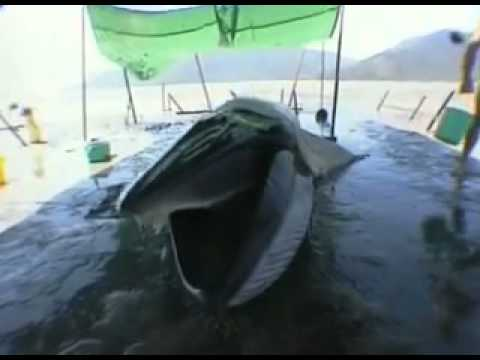 Whale Death Caused by Plastic Bags