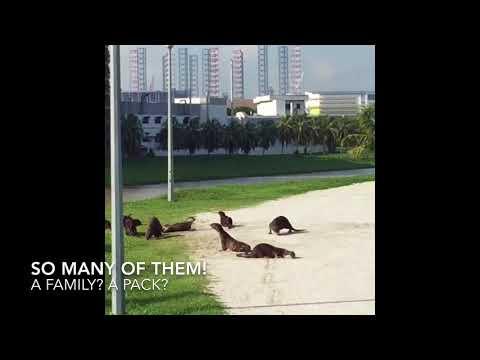 Otter Family Frolicking in Singapore Sun