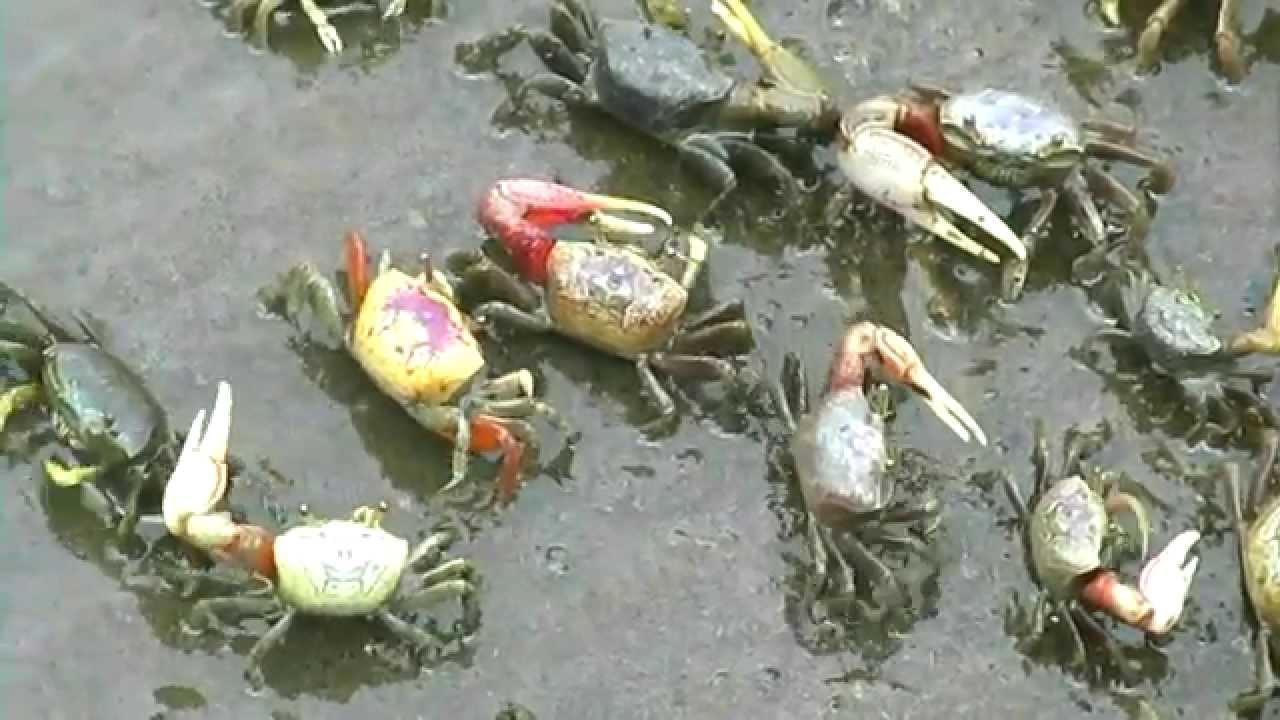 Salt Marsh and Fiddler Crabs: Cedar Point, NC 6-11-15 ...