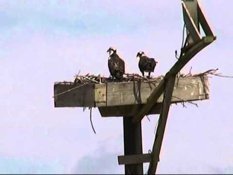 Osprey Family on the 2015 Blackwater NWR Osprey Cam