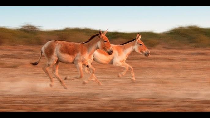 Popular Videos - Indian Wild Ass Sanctuary & Indian wild ass