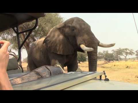Elephant joins tea time in Mana Pools