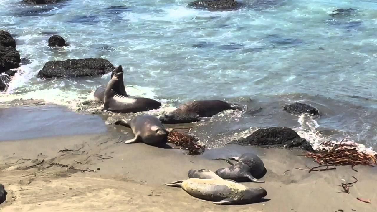 Elephant Seals Sur California