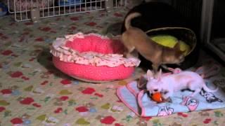 先住犬は2歳5ヶ月のスムースチワワ(メス 避妊手術済)。おとなしいが自...