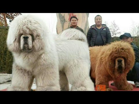 Tibetan Mastiff puppies for sale in india
