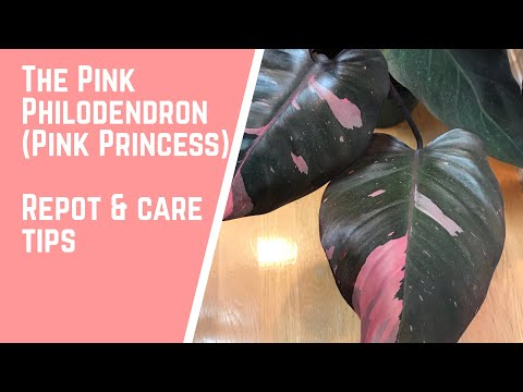 The Pink Philodendron (Pink Princess) - Repotting and Care Tips