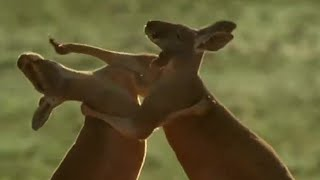 Roo wrestling | Big Red Roos | BBC