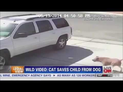 Cat Saves Boy From Dog FULL COMPLETE VIDEO