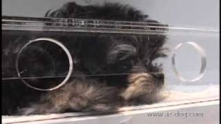 ブラックヨークシャテリアのカワイイところ 見てみませんか? 愛する犬...