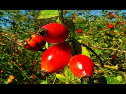 Плоды шиповника купить, шиповник применение и полезные