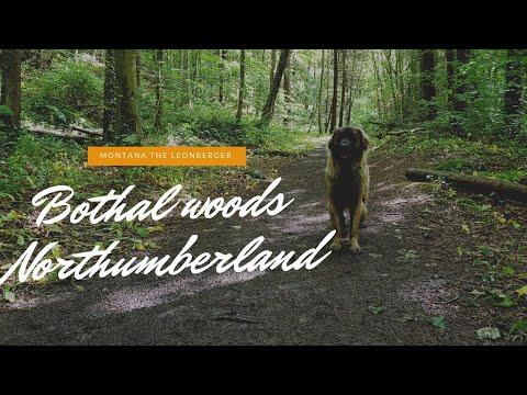 My Leonberger dog , Northumberland walks Bothal woods