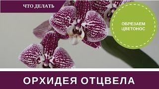 ✿Орхидея Отцвела Что Делать с Цветоносом и Уход✿(Ваша орхидея отцвела что делать. Обрезать ли цветонос, пересаживать или нет. Как поливать, удобрять когда..., 2017-03-09T16:57:15.000Z)