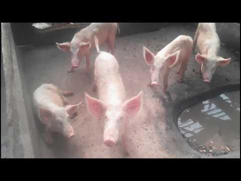 PIG FARMING  IN GHANA- PART 1