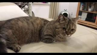 Funny cat so cute 丨 Munchkin Cat  Very curious cat丨TOP cat