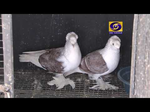 kerala famous fancy pigeon farm in  palakad subhash2015-2016