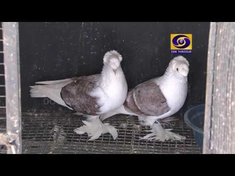 kerala famous fancy pigeon farm in  palakad subhash2015-2016