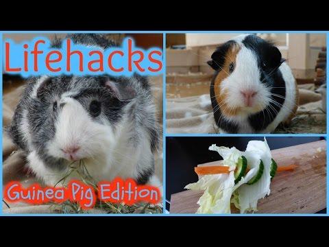 5 Lifehacks For Guinea Pigs