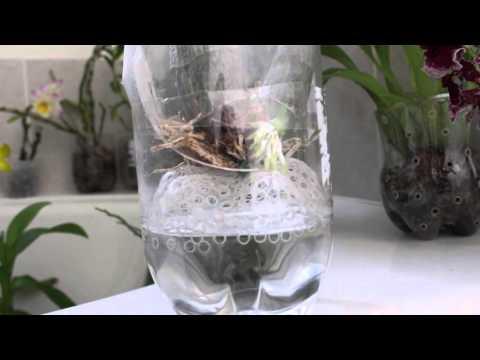 NEW GROWING METHOD - CATASETUM ORCHID TYPE