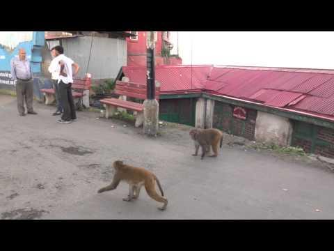 Shimla Mall Road Monkeys