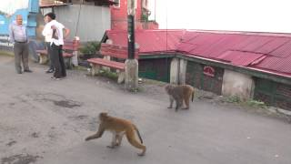 Shimla Mall Road Monkeys