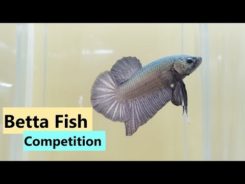 Betta Fish Competition - Singapore 2019