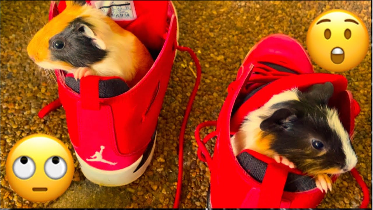 I Find My Guinea Pig Inside Brenen Jordan Shoes Cute And Funny
