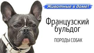Французский бульдог - породы собак.