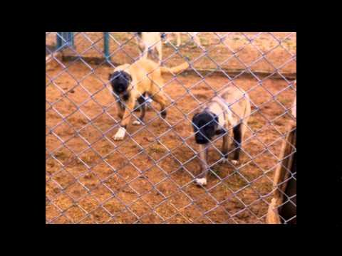 Kangal dog, Anatolian shepherd dogs