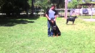 Florida Dog Academy - Basic Obedience Training With Doberman Vader (01)