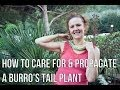How To Care For & Propagate Sedum Morganianum aka Burro's Tail