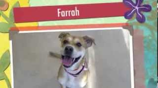 Farrah, A 2 Year Old Boxer/labrador Retriever Mix Available For Adoption At The Wisconsin Humane Soc