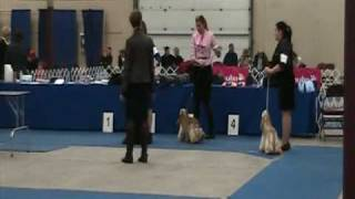 Halifax Kennel Club - Shadyhill American Cocker Spaniel - Best Of Breed Part 2